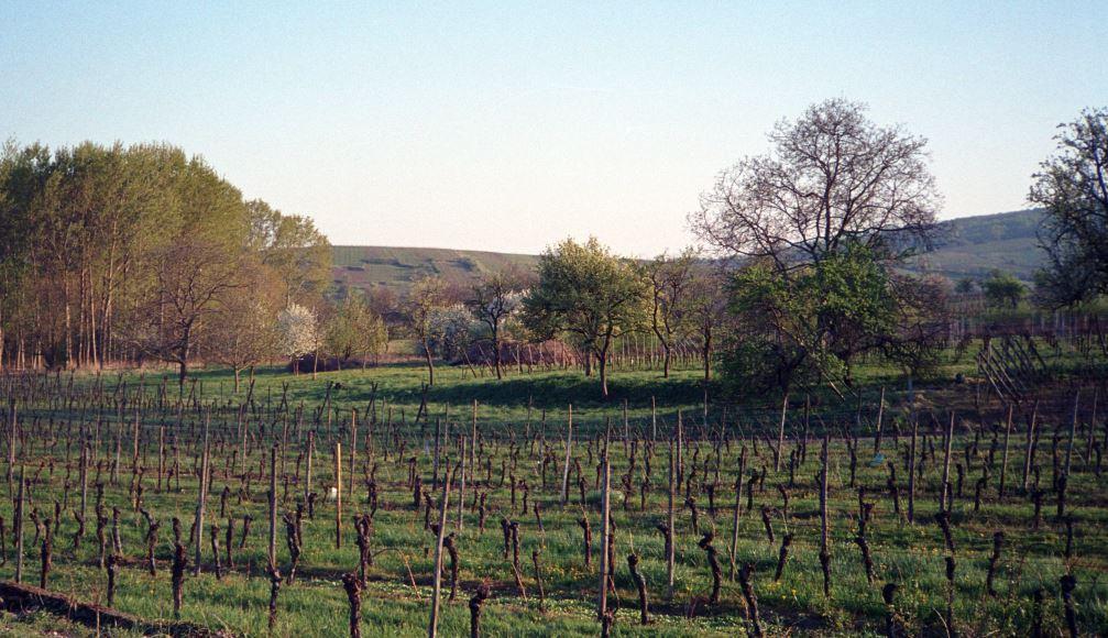Weinberge im Frühjahr bei Andlau und Mittelbergheim im Elsass