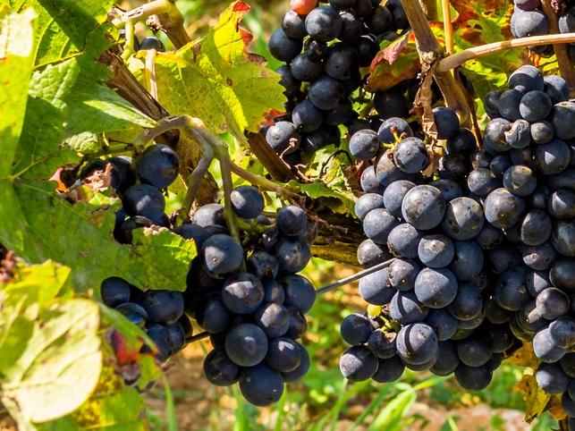 Pinot Noir in Burgund