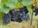 Pinot Noir am Zotzenberg in Mittelbergheim im Elsass