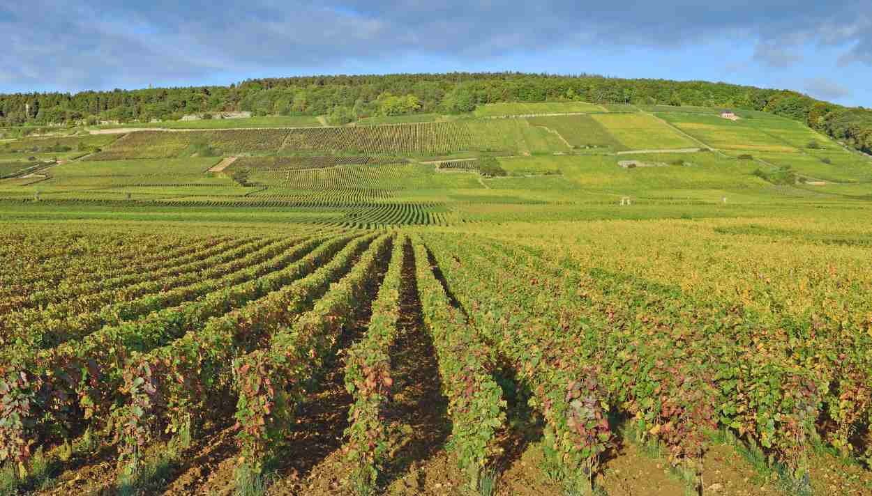 Weinberge in Chablis