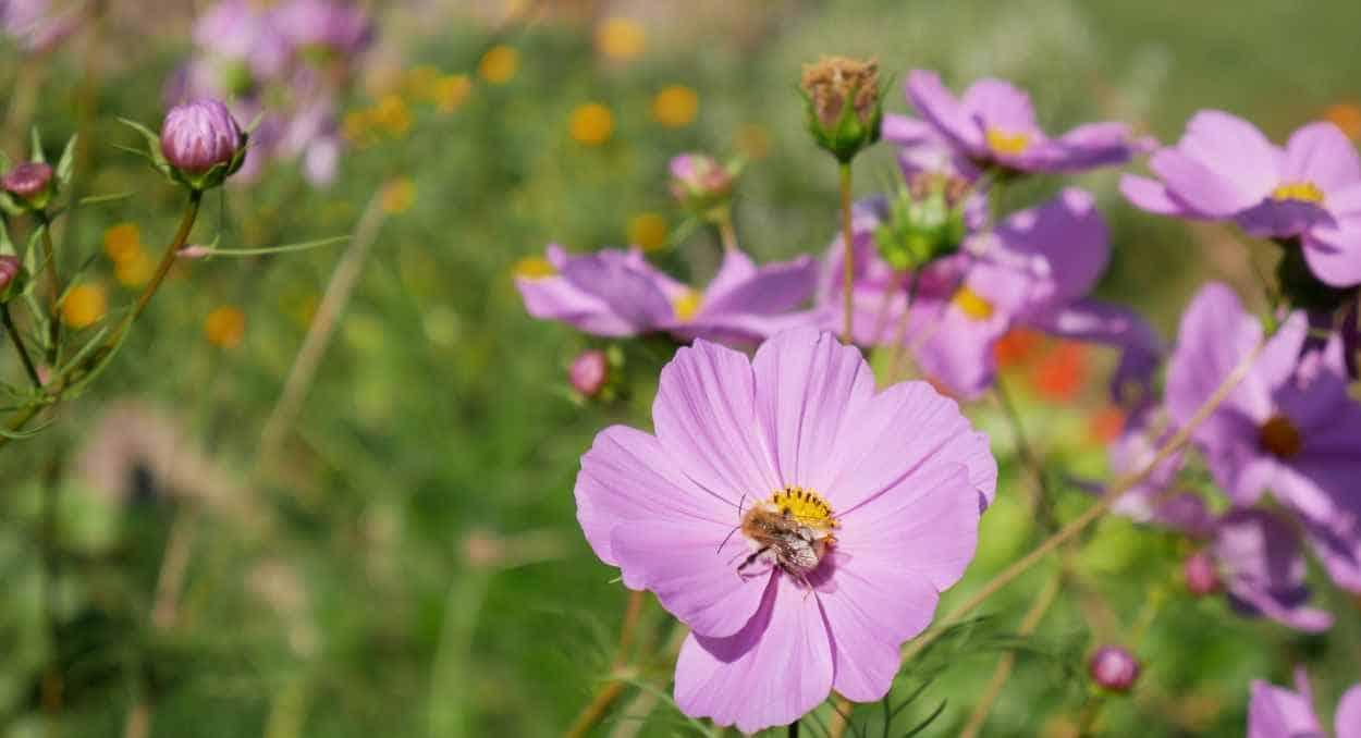 Sommerwiese mit Cosmea und Biene