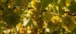 Weinprobe Sauvignon Blanc